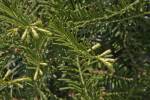 Prostrate Japanese Plum Yew Leaves