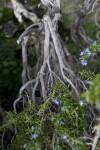 """Prostratus"" Rosemary Branch"