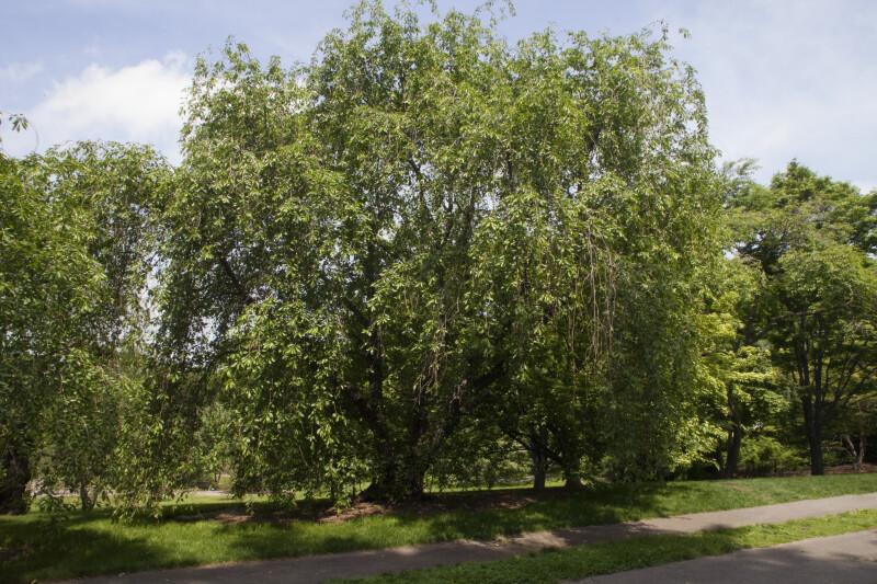 Prunus subhirtella x yedoensis Tree