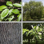 Prunus Trees photographs