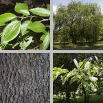 Prunus Trees photographs