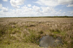 Puddle, Sawgrass Field, and White Clouds