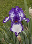 Purple and White Flower of an Iris Plant