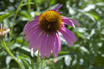 Purple Coneflower Plant Flower