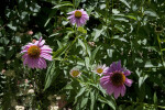 Purple Coneflower Shrub