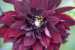 Purple Dahlia Flower at the Kanapaha Botanical Gardens