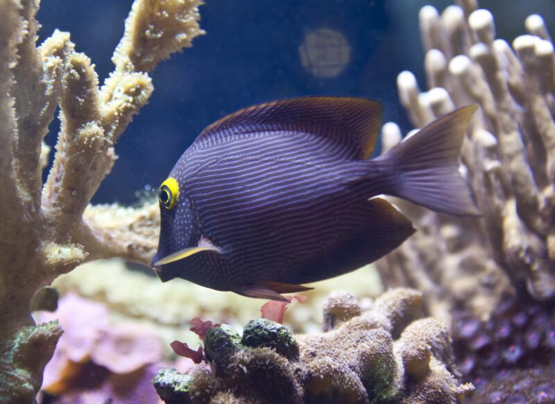 Purple Fish with White Lines at The Florida Aquarium