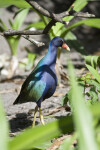 Purple Gallinule Looking Left