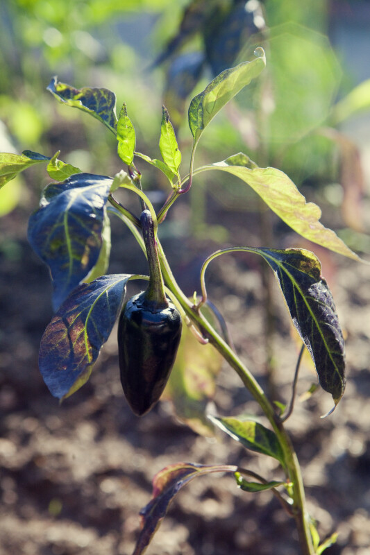 """Purple Jalapeño"" Pepper"