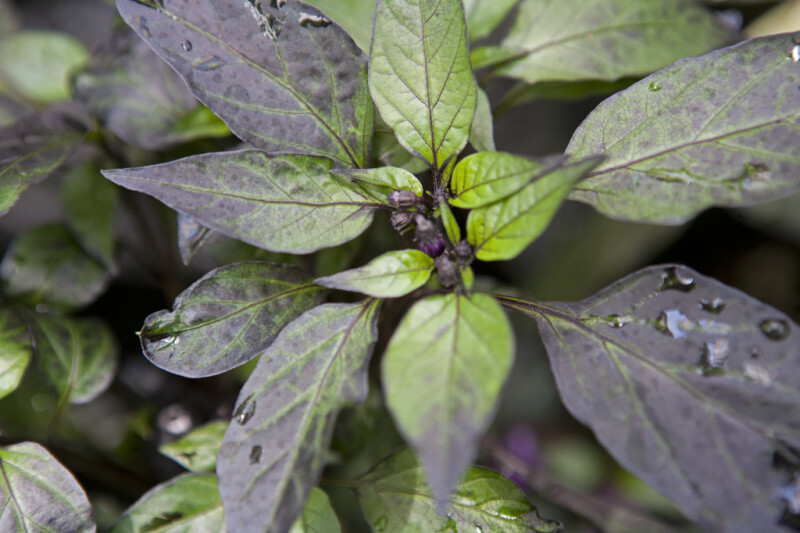 Purple-Leaf Hot Pepper