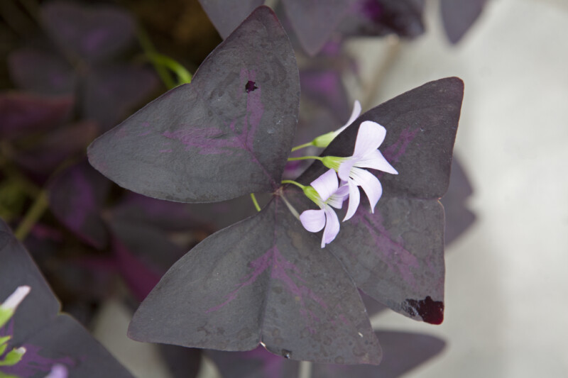 Purple Leaf Oxalis Flowers