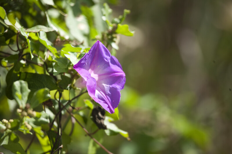 Purple Morning Glory (Left)