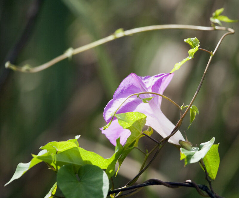 Purple Morning Glory (Right)