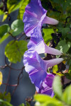 Purple Morning Glory Trio