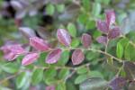 Purple Plum Loropetalum Branch with Small, Purple Leaves