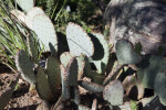 Purple Prickly Pear Detail