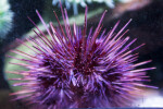 Purple Sea Urchin Close-Up