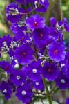 Purple, Silverleafed Princess Flowers with 5 Petals
