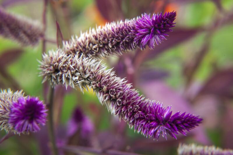 Purple-White Flower Tufts