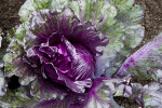 Purple Wild Cabbage