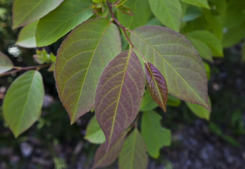Purplish-Green Chinese Stewarta Leaves