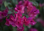 Purplish-Pink Flowers