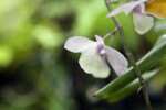 Purplish-White Orchid flower