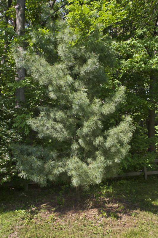 Pyramidal Eastern White Pine Tree at the Arnold Arboretum of Harvard University