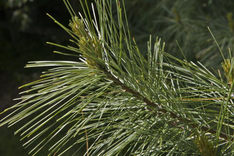 Pyramidal Eastern White Pine Tree Branch