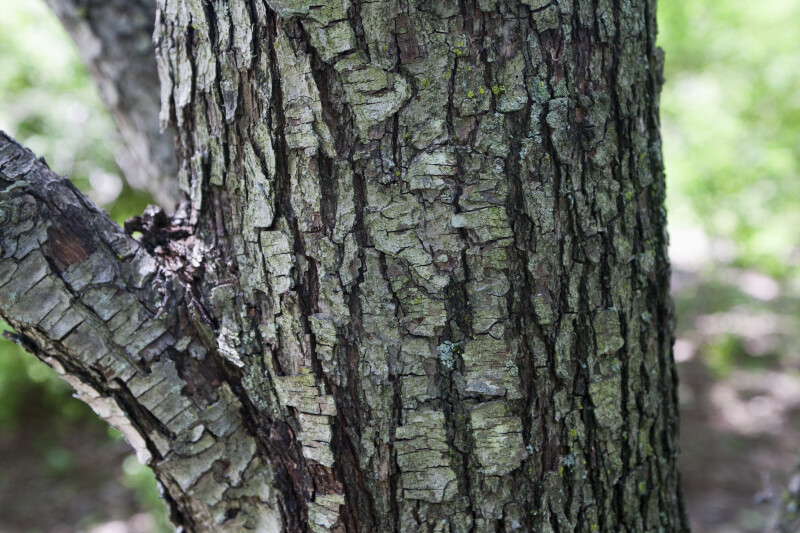Pyrus cossonii Bark