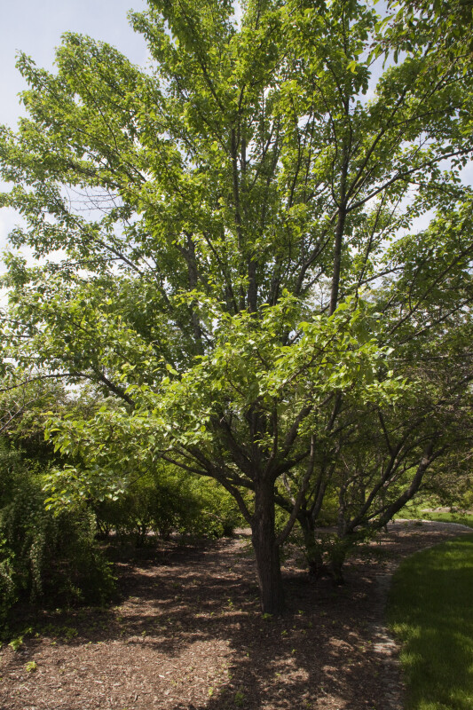 Pyrus cossonii Tree