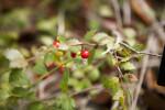 Quailberry Berry