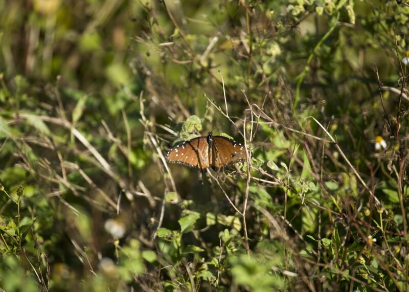 Queen Butterfly, Wings Spread