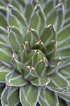 Queen Victoria Agave from Above