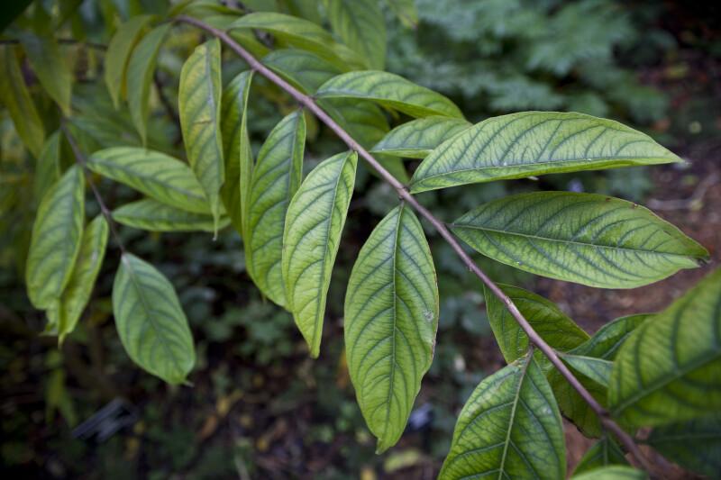Queen's Crapemyrtle Branch