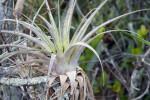 Quill-Leaf (Wild Pine)