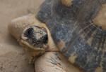 Radiated Tortoise Detail
