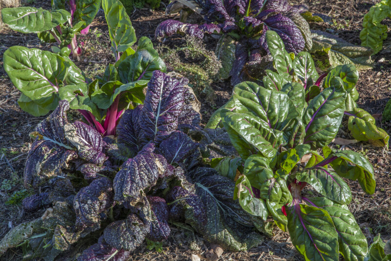Rainbow Chard Plants with Purple and Green Leaves