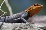 Rainbow Lizard Head