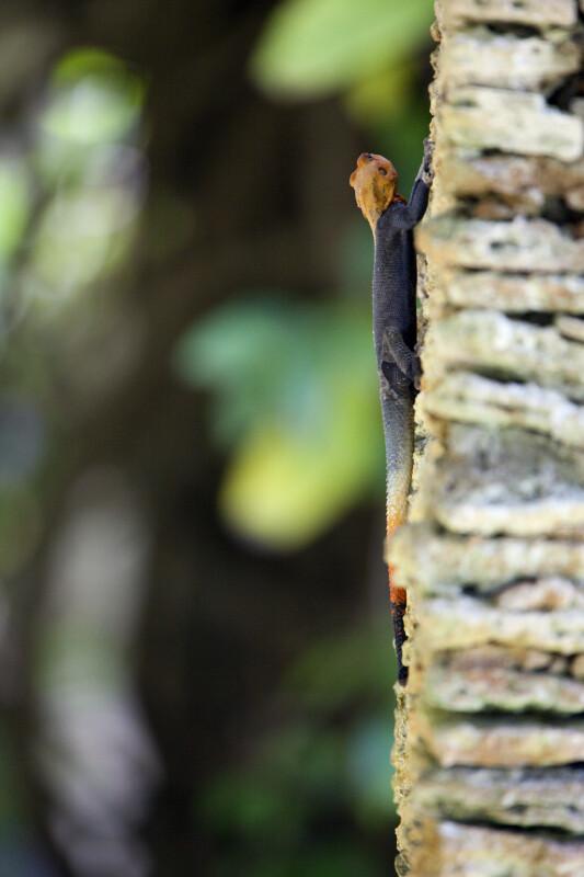 Rainbow Lizard on Pillar