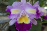 """Rainbow"" Orchid Flower"