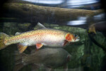 Rainbow Trout and Log