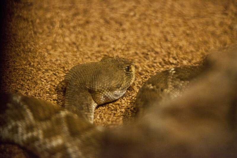 Rattlesnake Close-Up