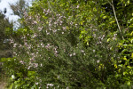 """Ray Williams"" Leptospermum Branches"