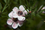 Ray Williams Leptospermum Flower