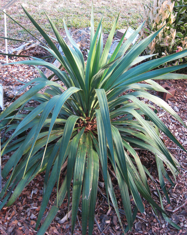 Recurved Yucca