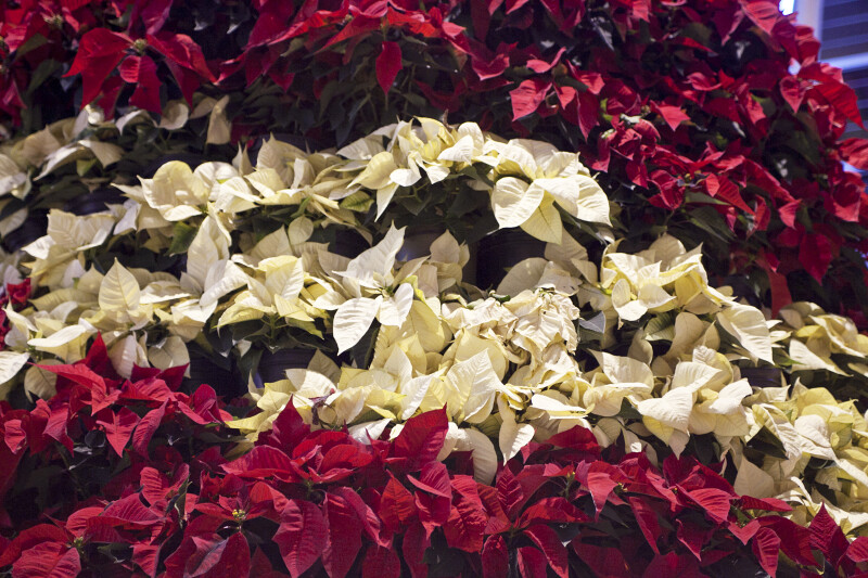 Red and White Poinsettia Display