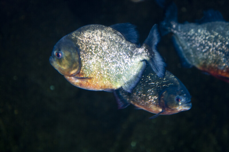 Red-Bellied Piranhas