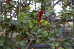 Red Berries and Green Leaves of a Yaupon Holly