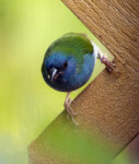 Red-Cheeked Cordon Bleu Looking Ahead